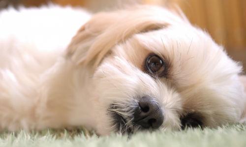 犬,糖尿病,治療法